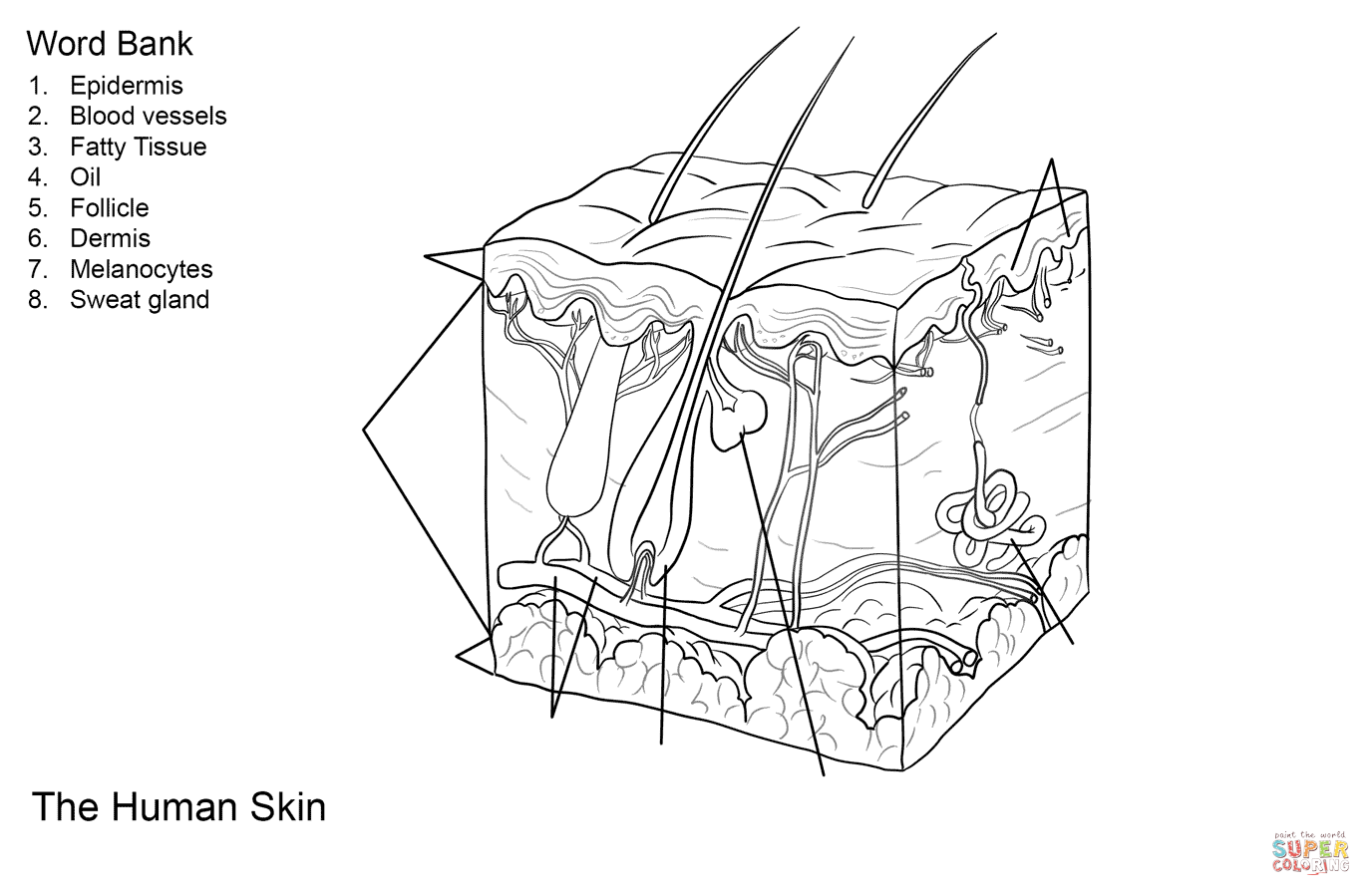 Human Skin Anatomy Worksheet Coloring Page
