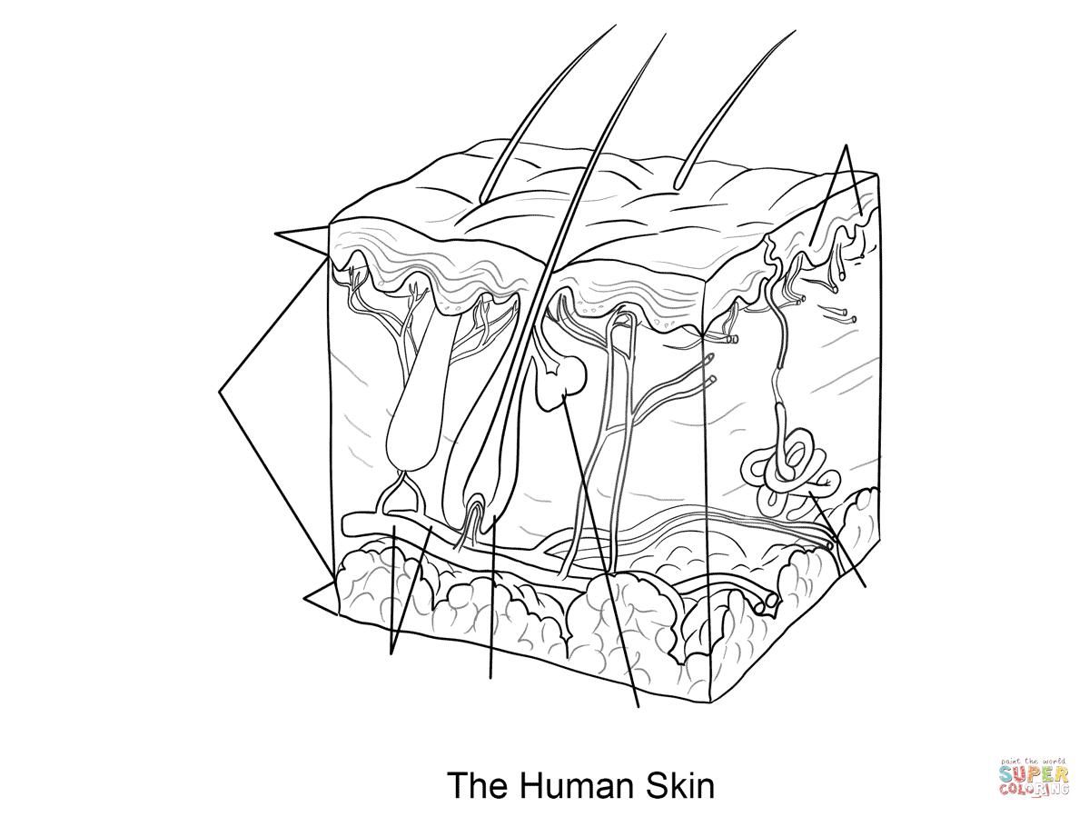 Ausmalbild Menschliche Haut