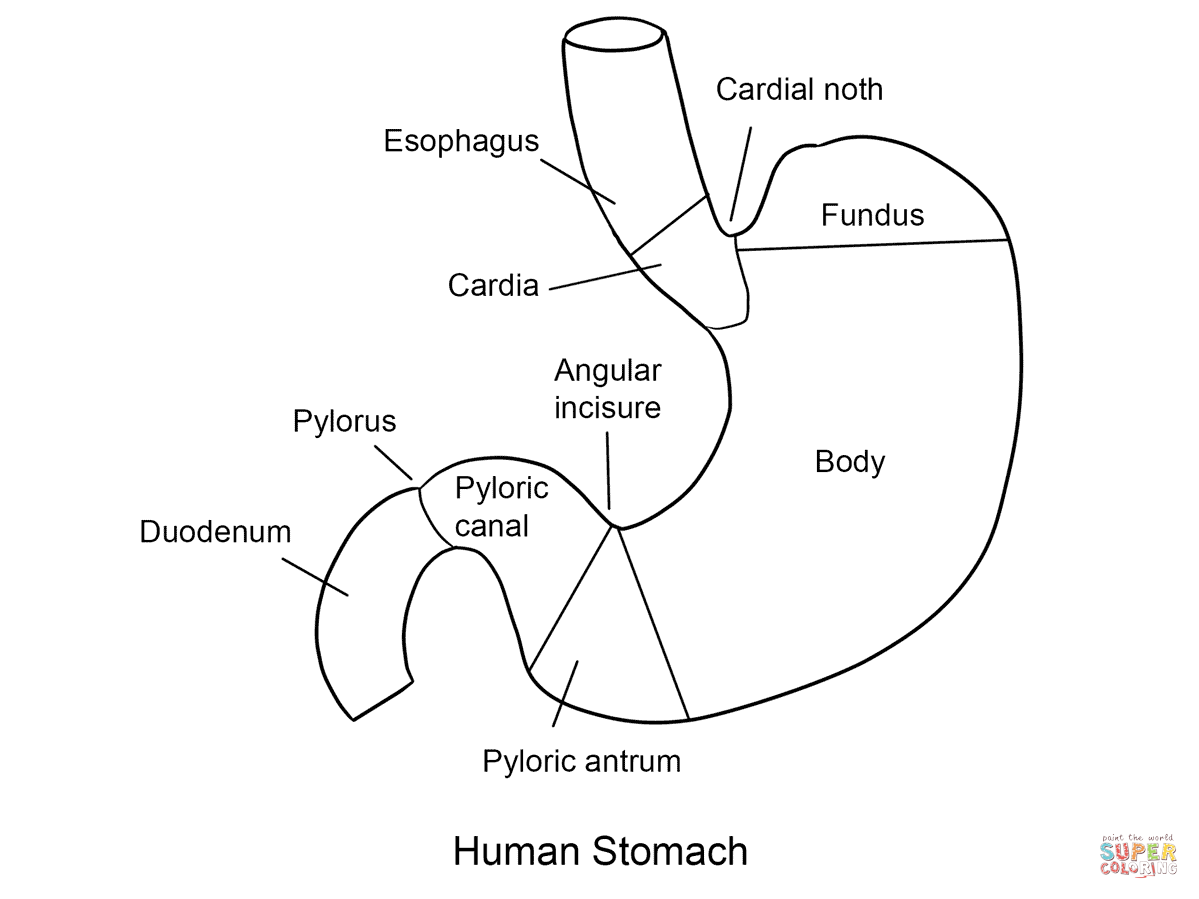 Human Body Regions Worksheet