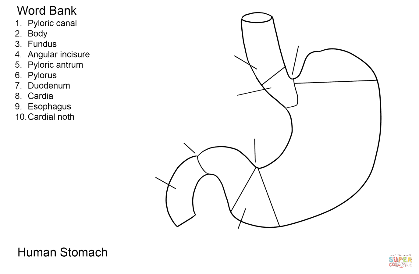 Human Stomach Worksheet Coloring Page