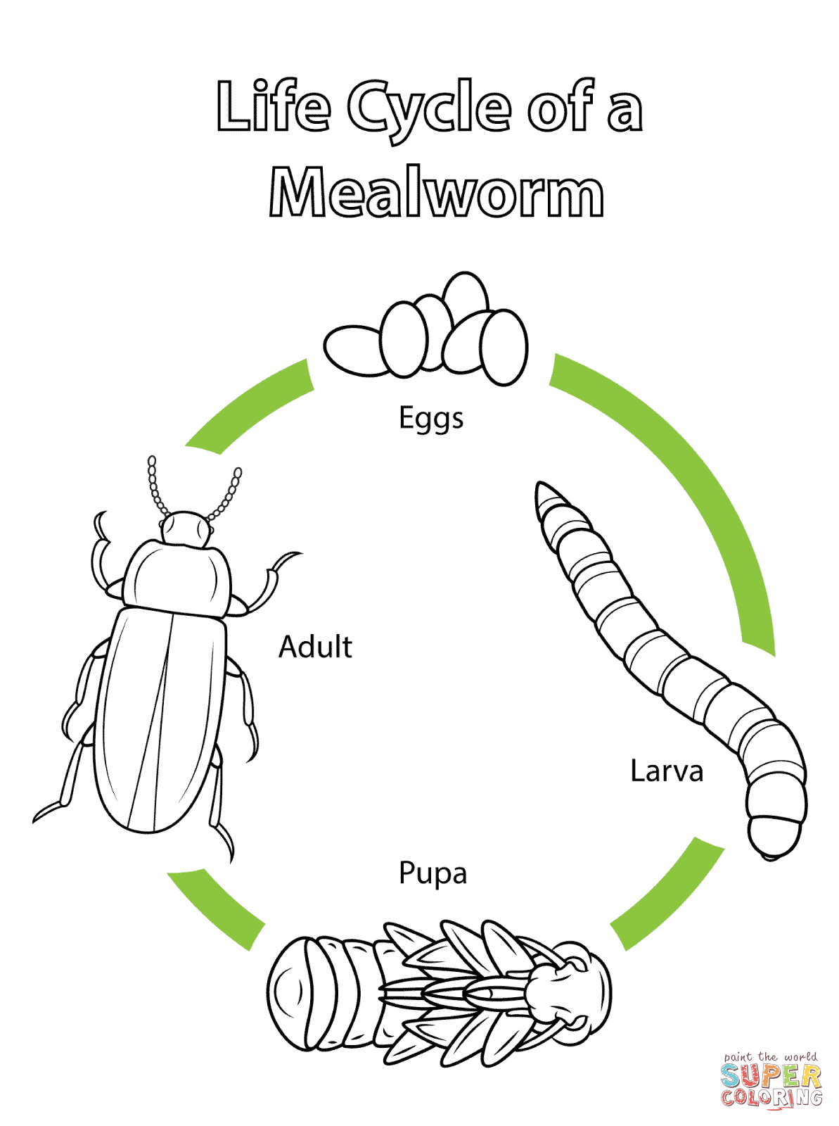 Life Cycle Of A Mealworm Coloring Page