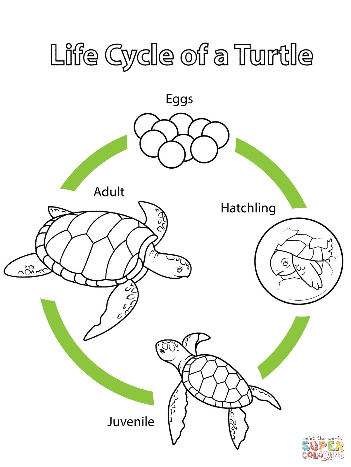 Dibujo De Ciclo Vital De Una Tortuga Para Colorear