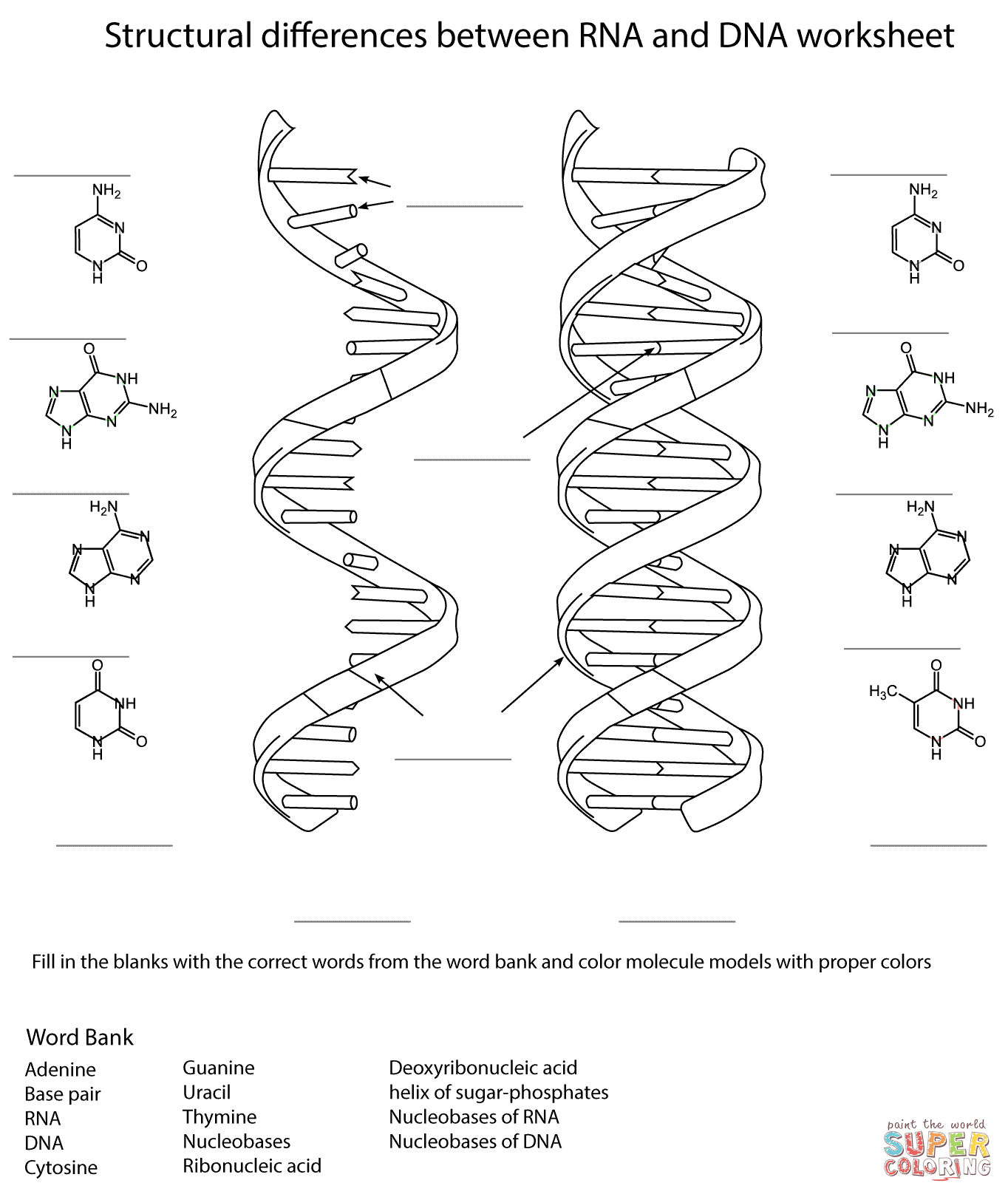 Rna And Dna Worksheet Coloring Page