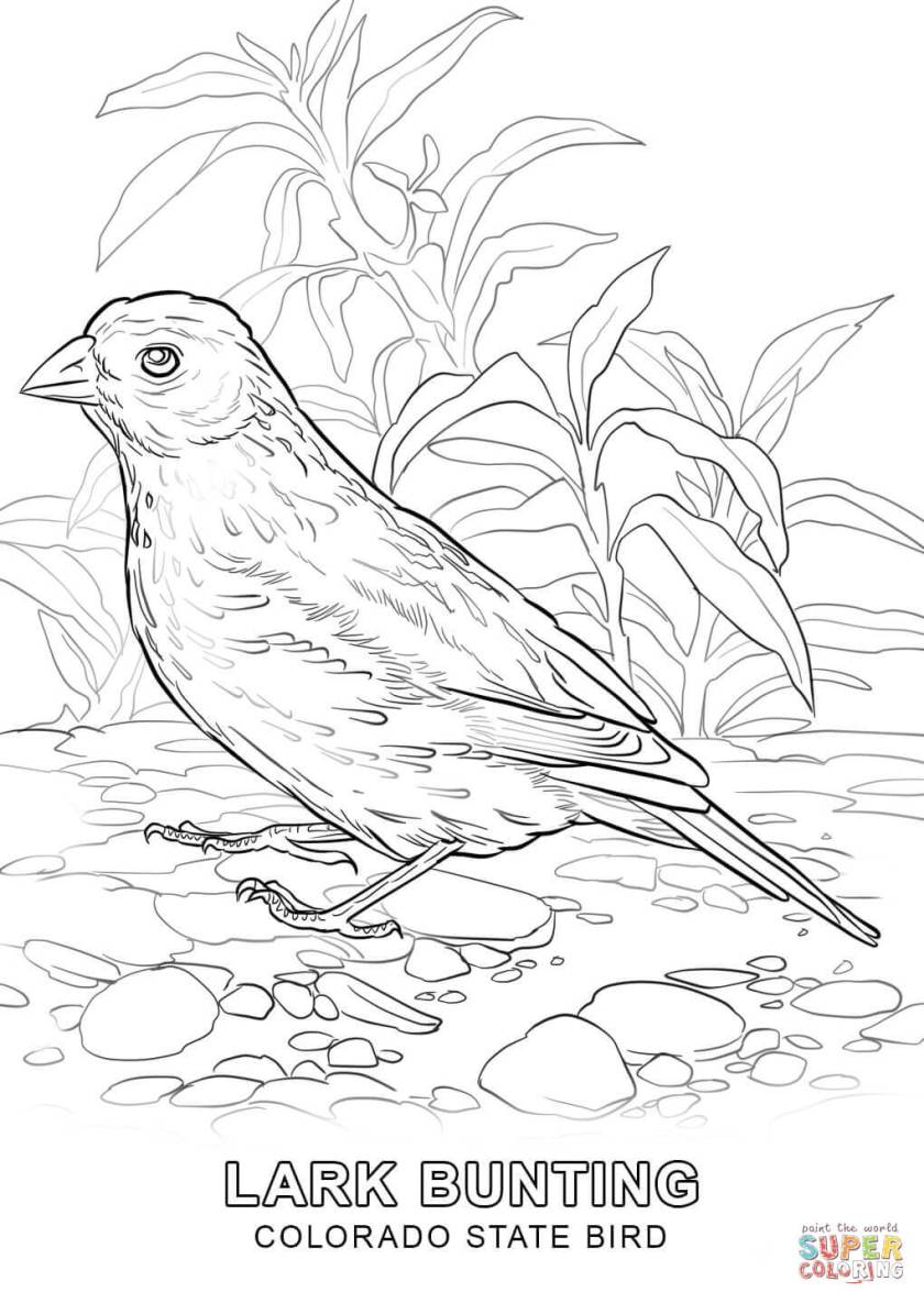 colorado state bird coloring page  free printable
