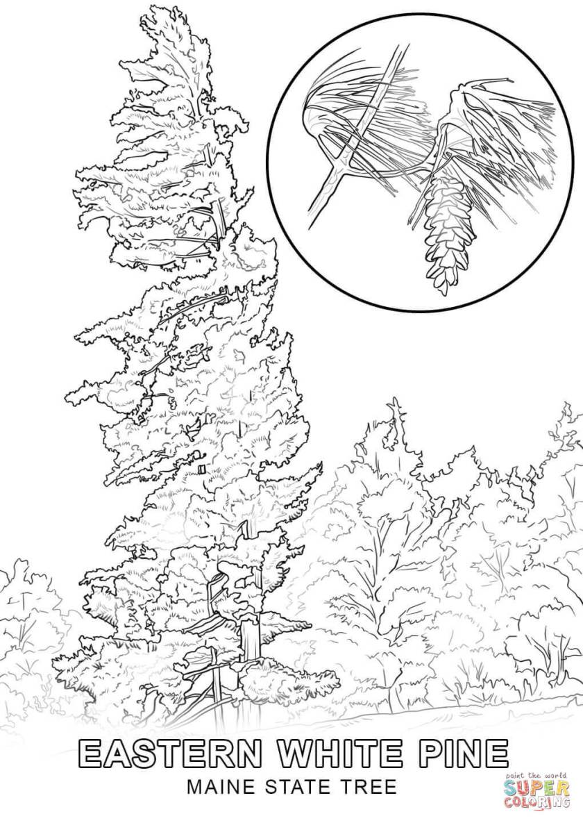maine state tree coloring page  free printable coloring pages