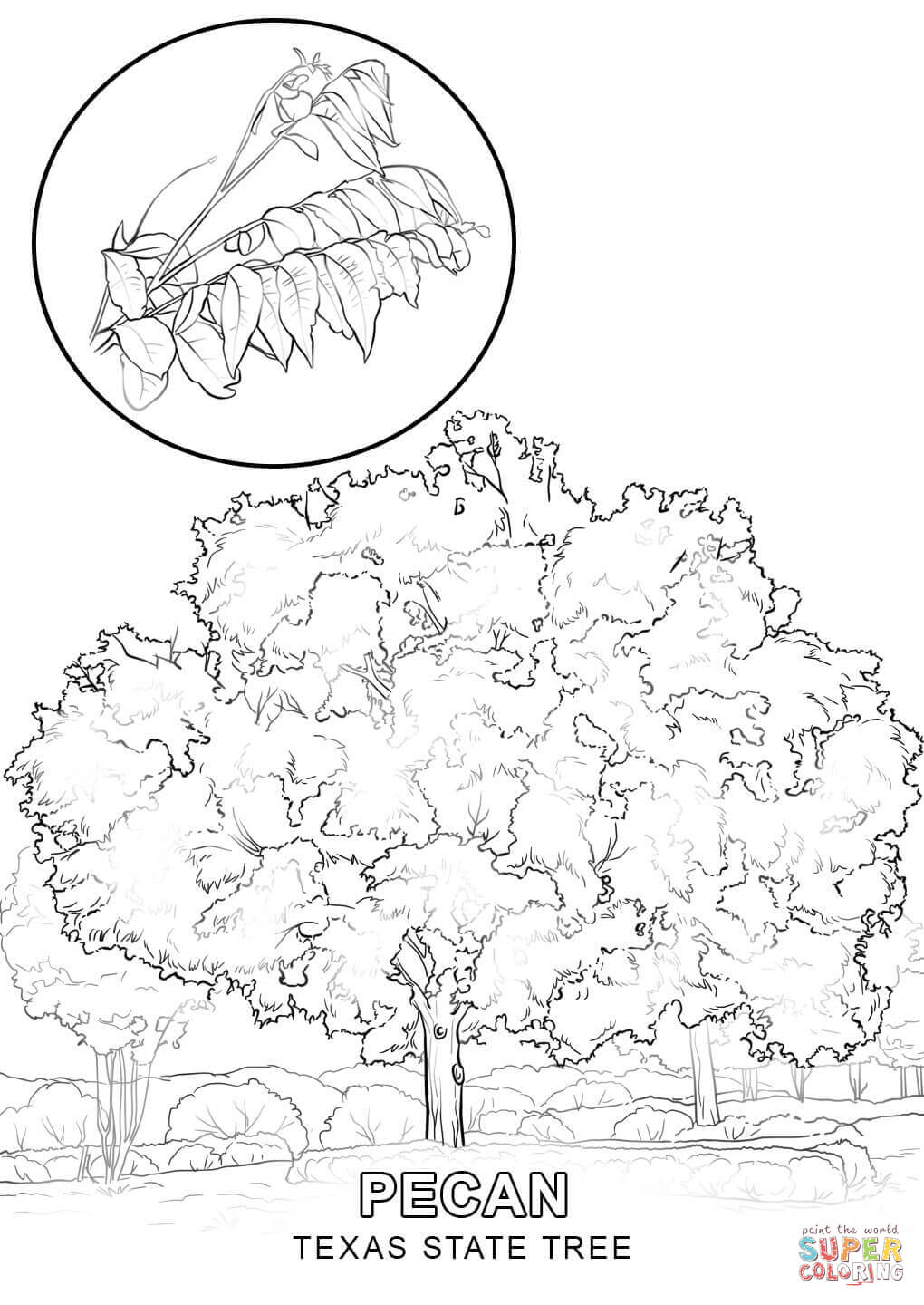 Texas State Tree Coloring Page Free Printable Coloring Pages