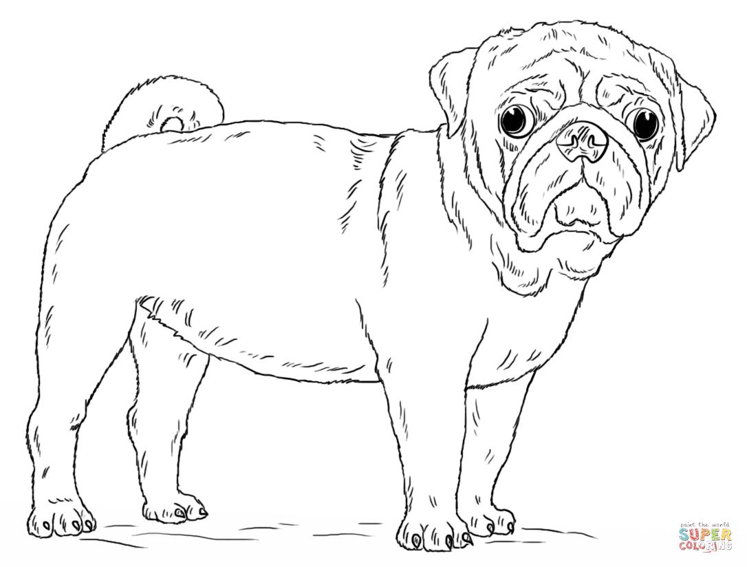Tiny Pug Drawings