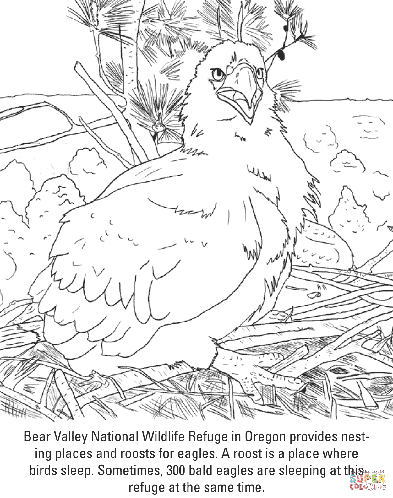Bald Eagle Chick Coloring Page
