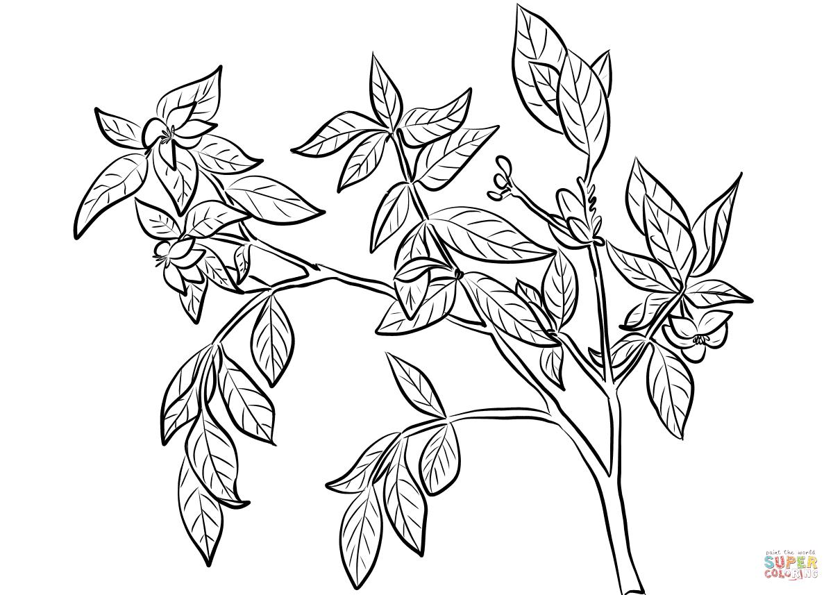 Cape Jasmine Gardenia Jasminoides Coloring Page