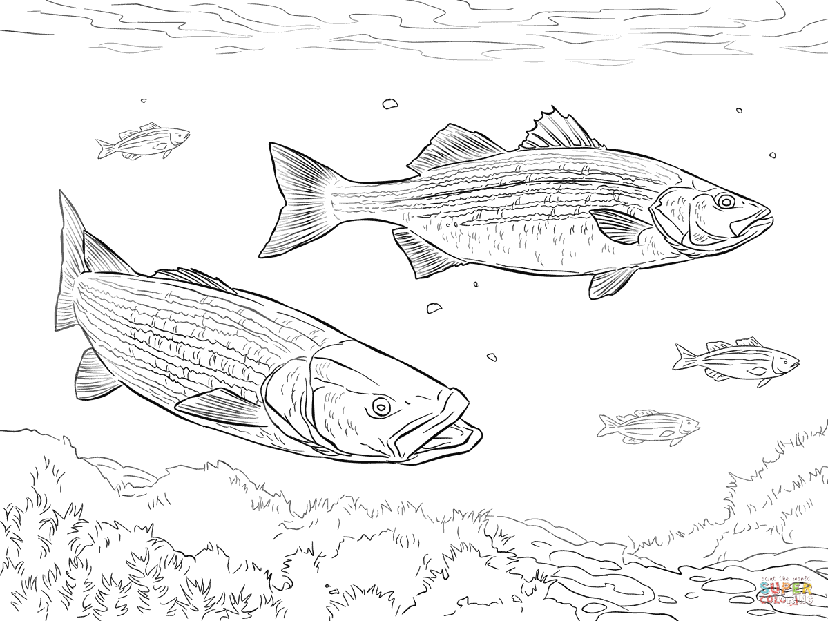 Largemouth Basses Coloring Page Free Printable Coloring Pages
