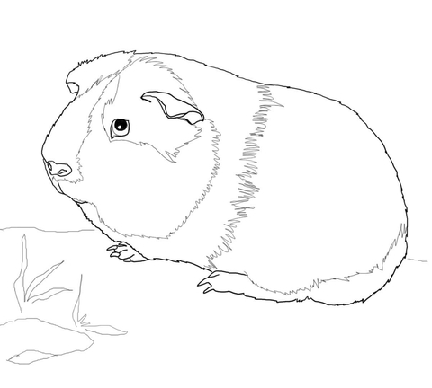guinea pig coloring page # 60