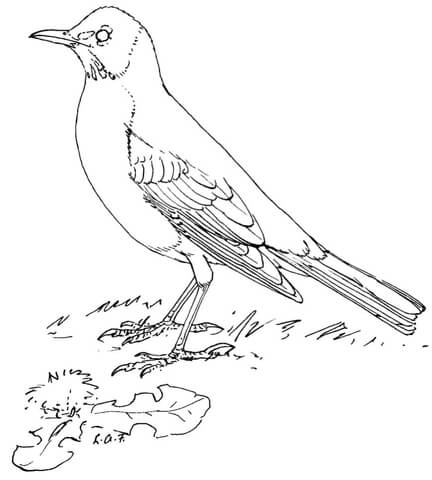 robin coloring page # 0