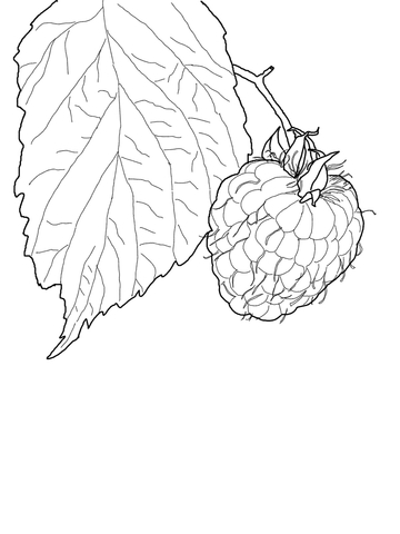 Raspberry Coloring Page Free Printable Coloring Pages