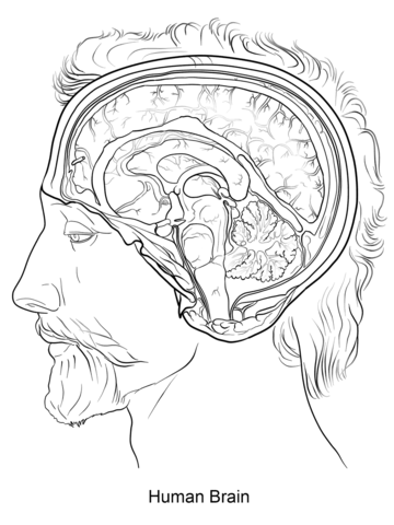 Human Brain Coloring Page Free Printable Coloring Pages
