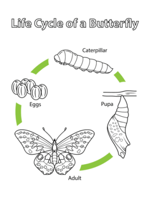 Life Cycle of a Butterfly coloring page | Free Printable Coloring Pages
