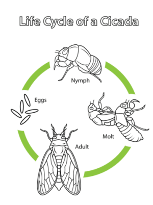 Life Cycle of a Cicada coloring page | Free Printable Coloring Pages