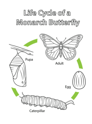Life Cycle of a Monarch Butterfly coloring page | Free Printable Coloring Pages