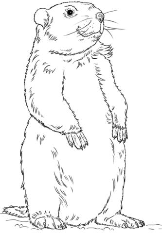 Coloriage Marmotte Debout Coloriages Imprimer Gratuits