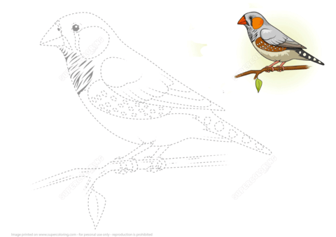 Draw A Zebra Finch By Tracing Dashed Lines And Color
