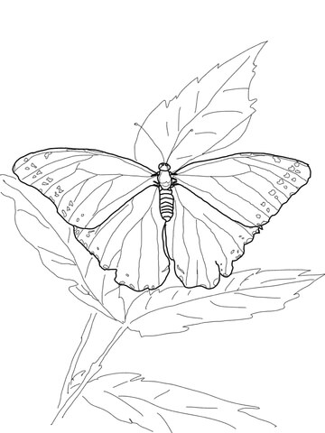 Blue Morpho Butterfly Coloring Page Supercoloring Com