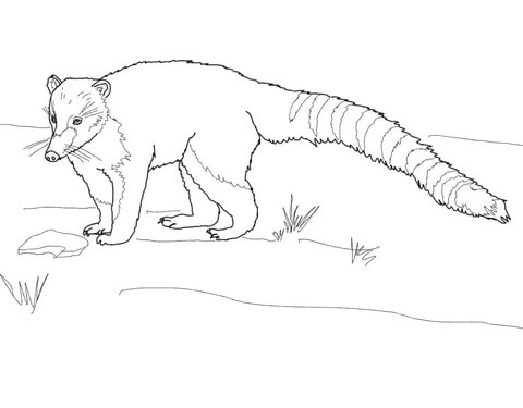 South American Or Ring Tailed Coati Coloring Page