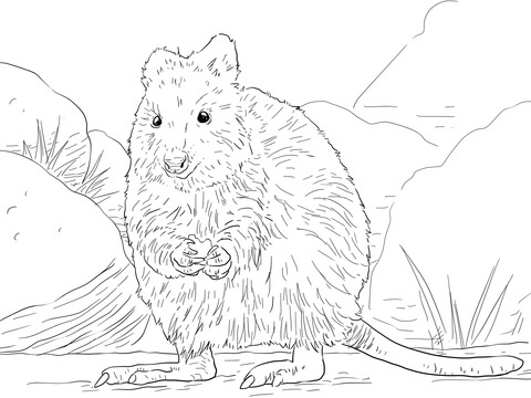 Quokka Coloring Page
