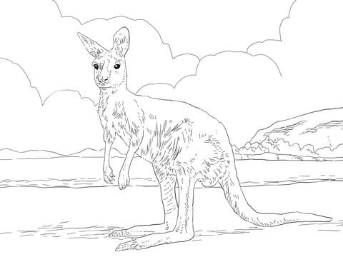 Western Grey Kangaroo Coloring Page