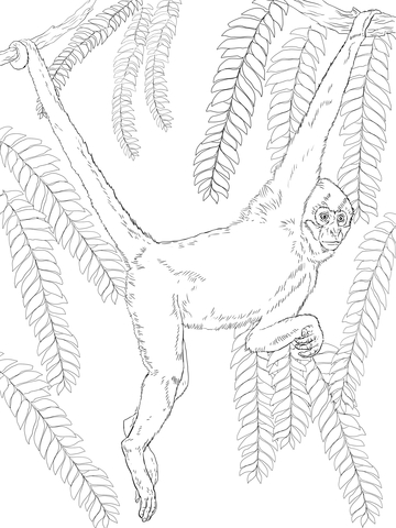 Black Handed Spider Monkey Coloring Page