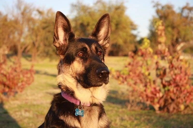 beautiful german shepherd image