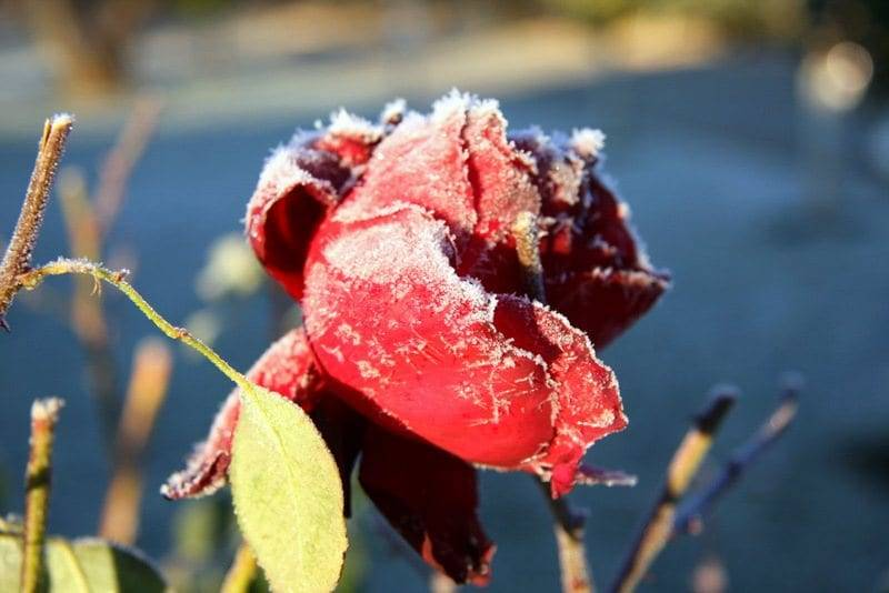rose covered in snow image