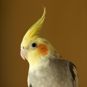 cockatiel with crown up