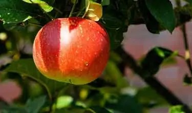 apple hanging on tree