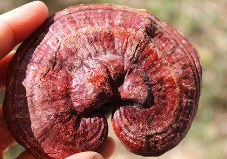 top-superfoods-list-reishi-mushroom