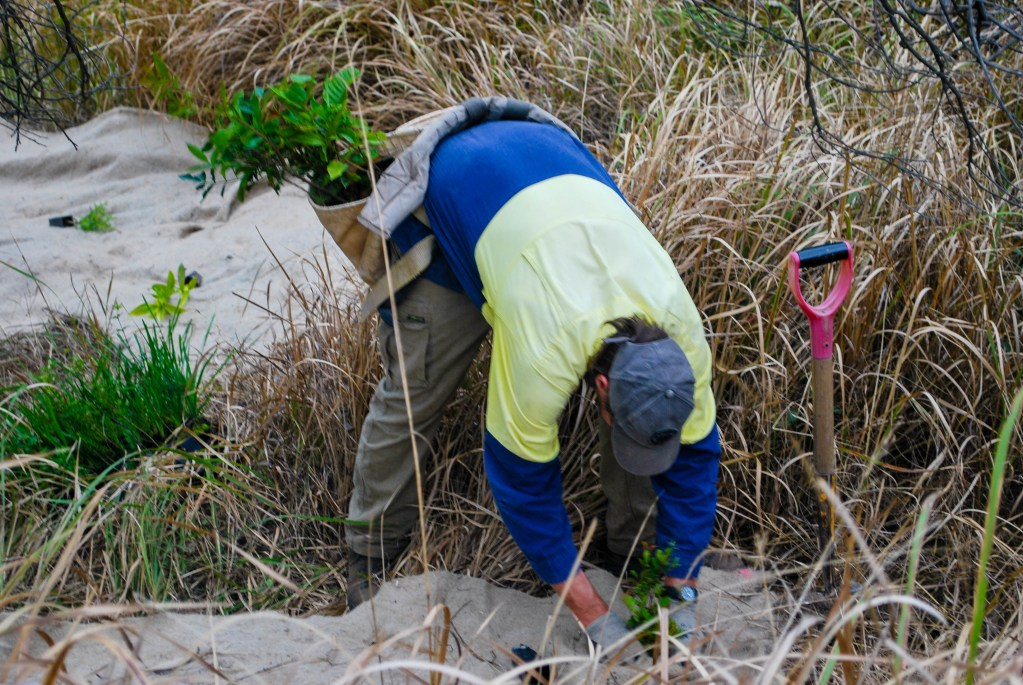 """""""Bloodwood"""" - Environmental planting of indigenous species in Dead Dog Gully Planting."""