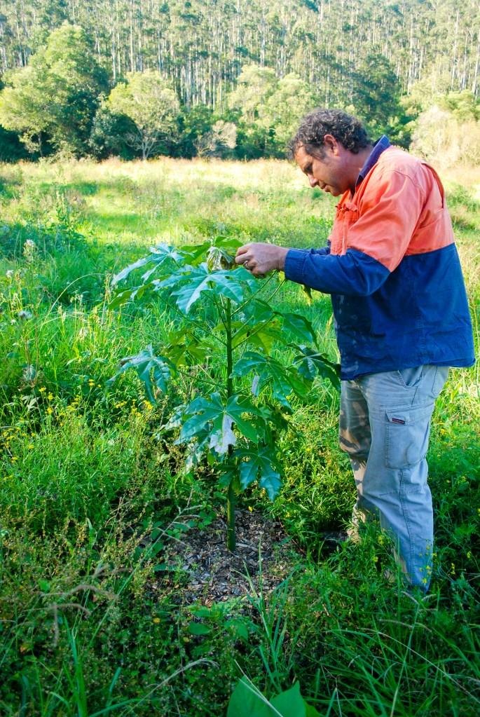 Illawarra Flame tree - Calico Creek environmental planting.