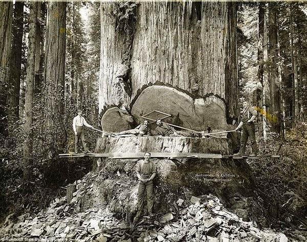Kaliforniya'daki devasa kızılağaçları kesen ormancılar