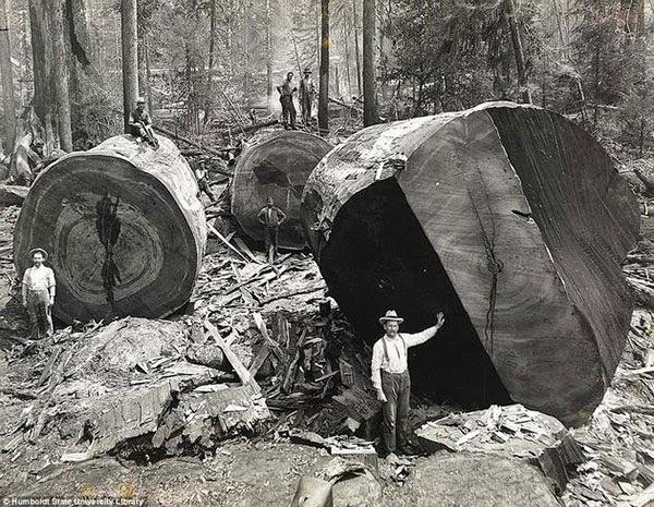 Kaliforniya'daki ormancılar 2