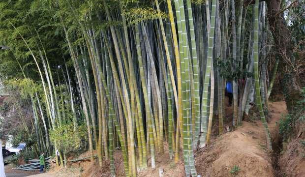 25 yıl önce Gürcistan'dan getirip Artvin'e diktiler! Büyüyen bambular ilgi odağı oldu