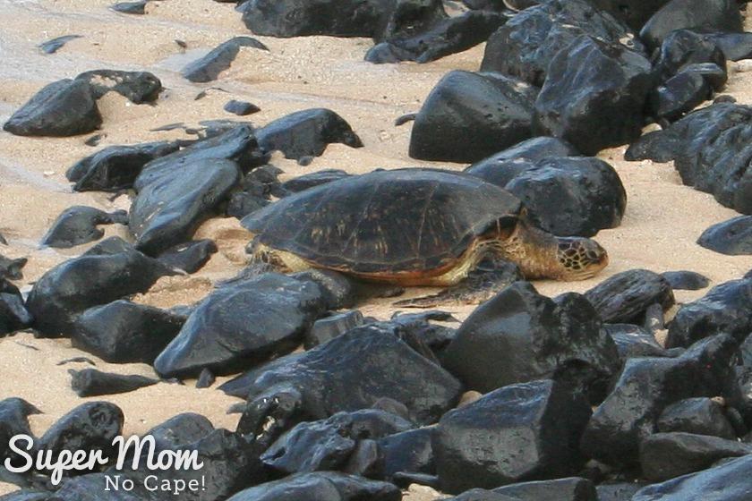 Sea Turtle at Hookipa