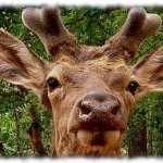 deer antler velvet young