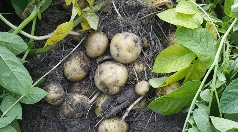 ¿Cuáles son los beneficios de la fécula de patata?  ¿Tiene algún interés sanitario particular?