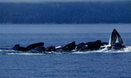Balene sotto stress