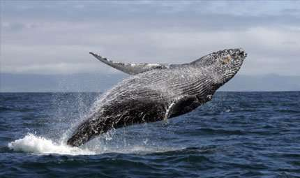 Salvare le balene con un'asta?