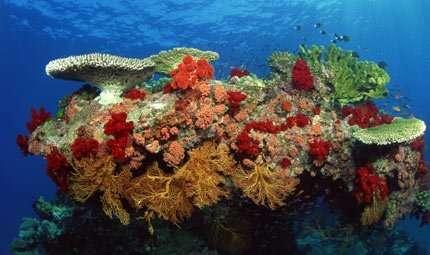 Coralli: il gelo li salverà