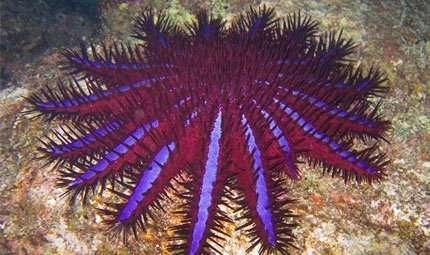 Allarme in Mar Rosso per la stella divoratrice di corallo