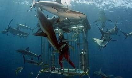 Australia: stop alle immersioni con gli squali