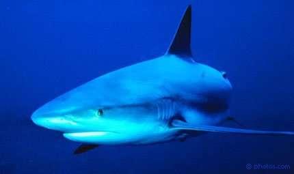 Le Maldive santuario degli squali