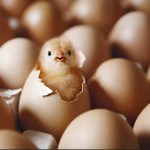 A Crack In The Shell cover image - a chick hatching among eggs