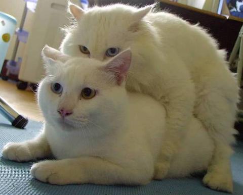 貓咪論壇 - [貼圖]陰陽眼貓咪!
