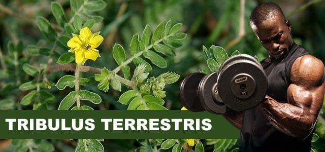 Tribulus Terrestris ajuda a ganhar massa muscular e definir os músculos